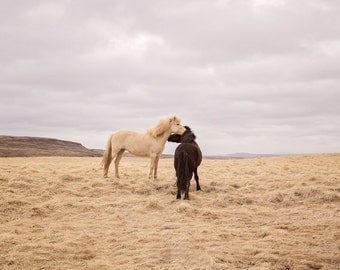 Icelanadic Horses in Color Photograph