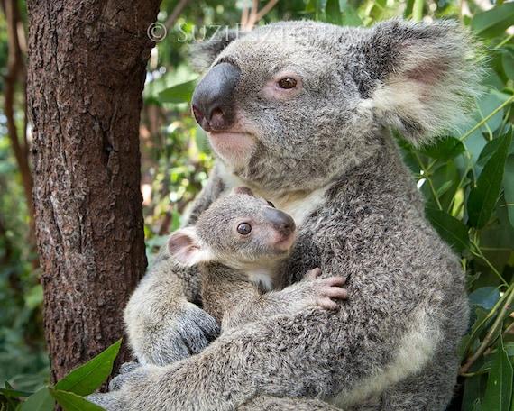Baby koala hugging mom photo koala bear baby nursery print - Pics of baby koalas ...