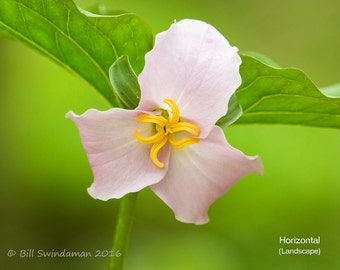 Pink Trillium Wildflower Close-Up