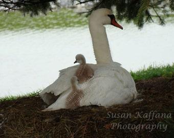 "On Momma's  Back"" ..Original Fine Art..Swan Photography..Wildlife Photography..Bird Photography..Waterfowl Photography..Original Photographs"