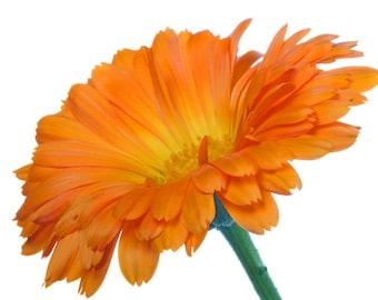 40 seeds, Organic Calendula Plants, Medicinal Plant, Herbs, Skin Care