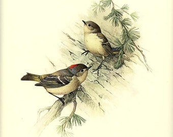 RUBY-CROWNED KINGLET  - Vintage J. F. Lansdowne Book Plate 35  'Birds of the Northern Forest'