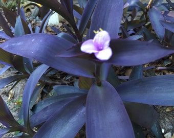 Live Tradescantia Wandering Jew Plant Cuttings, Unrooted Organic Clean Air Houseplant, Deer Resistant Landscaping Plant