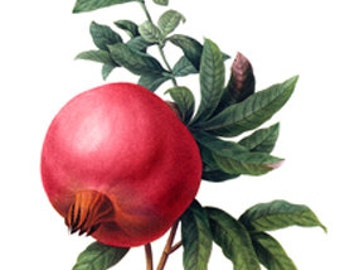 Grenade Pomegranate Fruit Botanical - Digital Image  - Vintage French Art Illustration - Instant Download