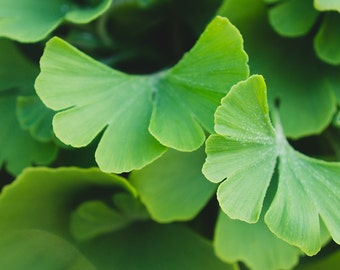 Ginkgo Leaves Photograph, Ginkgo Leaf Photo, Nature Decor, Green Decor, Botanical Art, Abstract Photography, Gift for Gardener