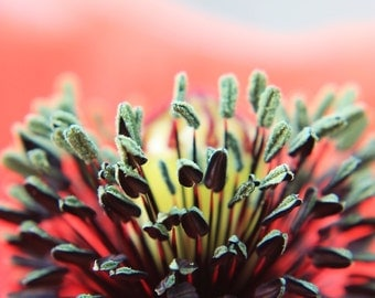 Flower photograph, instant download, poppy, abstract photo, close up, macro, red popy, red green poppy
