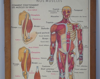 Vintage Anatomy School Double Sided Poster Human Body Muscles