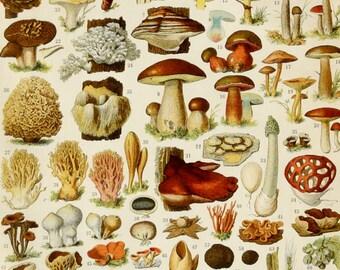 1900 MUSHROOMS and FUNGUS, antique fine lithograph. Meadow. Penny bun. Red pine. Amanita. Botany. Mushroom. Fungi. 116 years old print