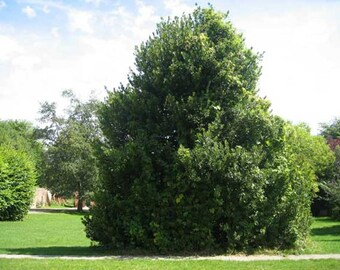English Holly Tree Seeds, Ilex aquifolium - 25 Seeds