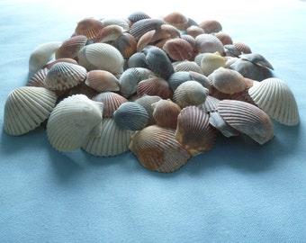 100 Scallop Shells Assorted Sizes and Colors #303, Bulk Seashells, Natural shells