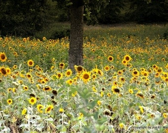 Southern Sunflowers in the Summer