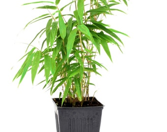 Green Panda Bamboo Live Plant Grown Organic in 4 Inch Container