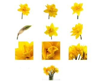 Digital Download of Classic Daffodil Photographs  - 10 Stunning Images in Zip File - All 1000+ px Files
