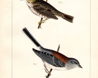 Antique Bird Print 1860 Red-backed Snowbird and Nootka Sparrow Birds of North America Color Large Lithograph John Cassin Vintage Bird Print