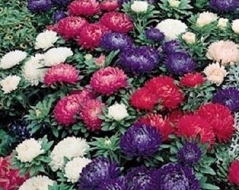 30+ Milady Mix Aster Flower Seeds / Annual