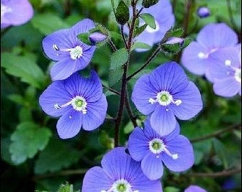 50+ Veronica Oxford Blue Creeping Speedwall / Perennial Flower Seeds