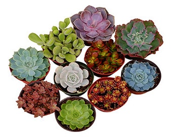 Shop Succulents 4 Inch Assorted Collection