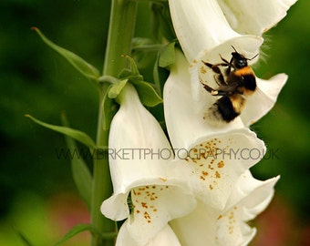 Bumblebee Foxglove Print 12x15 inch