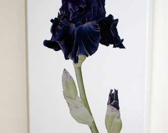 Black Iris gallery wrap canvas print