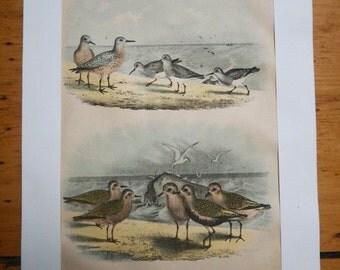"Vintage art, original art, five antique bird artwork prints ""The Birds of North America"" | plovers | pheasants | bird watcher gift |"