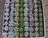 "100 ROSETTE Only Wedding Succulent collection potted in 2"" containers collection of Beautiful WEDDING FAVOR Succulents Gifts~"