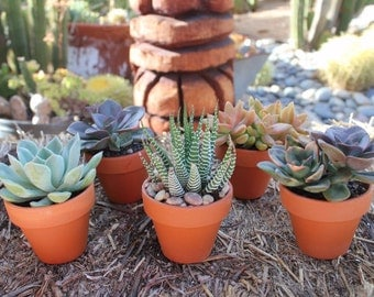 "50 DIY Stunning Assorted Succulents in 2.5"" containers with 50 Terra Cotta Pots, Perfect for Any Event!"
