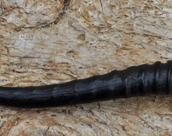 Single female SPRINGBOK HORN (not a replica ) 180mm /200mm long