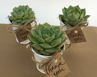 25 Succulent Favors-Succulents-Succulent Wedding Favors-25 Plant Favors-Bridal Shower Favors-25 Favors in White Pails-Wedding Succulents