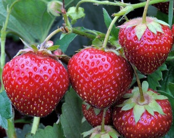 Earliglow Strawberry Plants - 40 root divisions