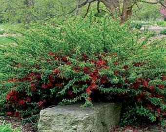 "CHAENOMELES SPECIOSA ""Texas Scarlet"" Flowering Quince"""