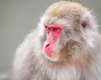 Japanese Macaque, Snow Monkey, Monkey Photography, Monkey Print, Monkey Wall Art, Animal Photography, Animal Wall Art