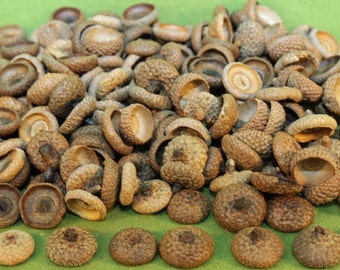 Free Shipping - Natural New England Oak Acorn Caps 150+ with Shipping Included