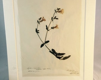Antique Pressed Flower Botanical From England