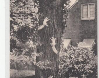 Olney Illinois Native White Squirrels Climb A Tree Postcard 1940