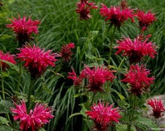 Red Monarda Bee Balm Flower Seeds / Perennial   25+