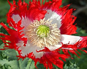 Danish Flag Poppy Flower Seeds / Papaver Somniferum / Annual 40+