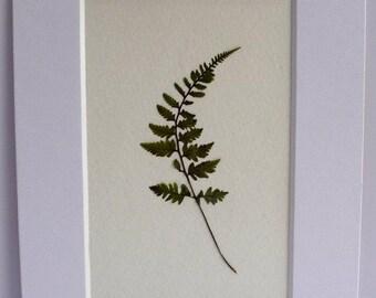 Real Pressed Fern Botanical Art Herbarium of Japanese Painted Fern 3x5