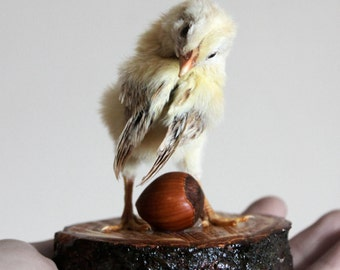 Taxidermy Baby Chick Peep