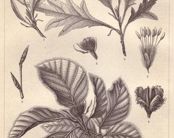 Common beech original 1895 beech print - Natural history, European beech - 120 years old German antique engraving illustration (B447)