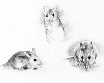 Instant digital download of the original drawing entitled 'Three Wood Mice' by Thomas Harrison.
