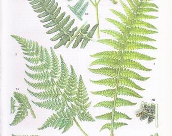 VINTAGE FERN PRINT, 1970's Fern Plate, Flowerless Plant Print, Garden Fern, Fern Illustration, Botany Lithograph, Green Plant Print, Botany