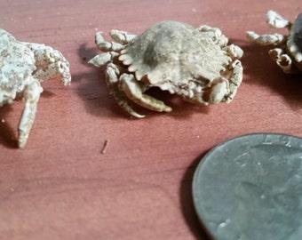 Oval Urn Crab