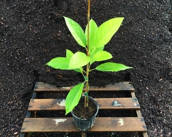 1-2 ft. Cold Hardy Avocado Tree (Grafted & Ready to Produce Fruit - #1 Pot)