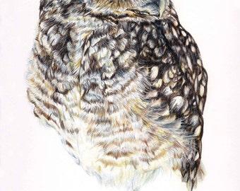 Burrowing Owl, original coloured pencil drawing