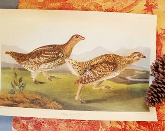 vintage Audubon bird print - Sharp Tailed Grouse