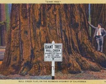 Vintage Postcard of Giant Tree - Bull Creek Flat - Redwood Highway, California
