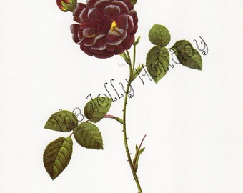Vintage Redoute Rose Print, Black Burgundy and Green, Botanical Book Plate, Art Print, Pierre Joseph Redoute 1978