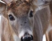 Fine Art photography, whitetail deer, white tail, buck, male, animal photo 8x10, 8x12, winter