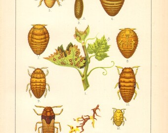 1894 Life Cycle of the Grape phylloxera - Daktulosphaira vitifoliae Original Antique Chromolithograph
