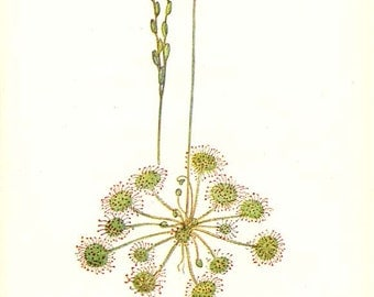ROUND-LEAVED SUNDEW and Goose-grass - Double-Sided Botanical book plate 1-90 - Edward Step 1930